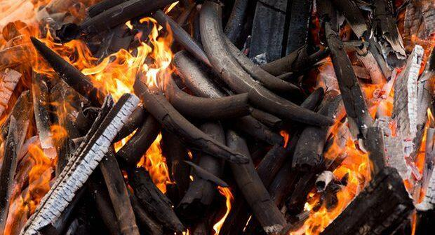 Will the destruction of ivory save elephants?