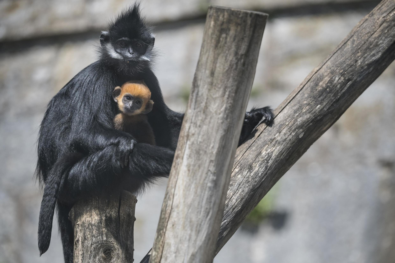 Le langur de François (une espèce de singe appartenant à la famille des Cercopithecidae) et son petit né le 18 avril 2020 au zoo de Besançon Citadelle, dans l'est de la France.