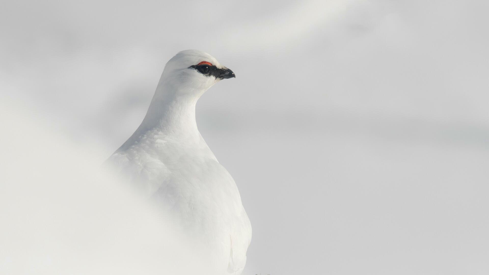 Lagopède alpin - perdrix des neiges - Bertrand Muffat-Joly - Alexis Bedu - Grand reportage