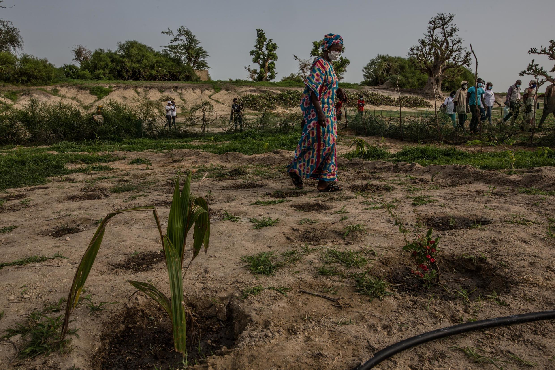 Au Sénégal, à Belvédère, des forêts nourricières voient le jour dans le cadre du projet la Grande muraille verte. Le but est de lutter contre la déforestation.