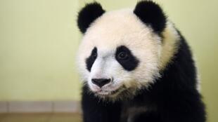 """این بچه پاندا، در باغ وحش """"بووال"""" در مرکز فرانسه نگهداری میشود."""