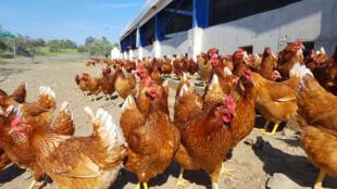 Industrialização de orgânicos pode afetar técnicas de criação de galinhas e produção de ovos.