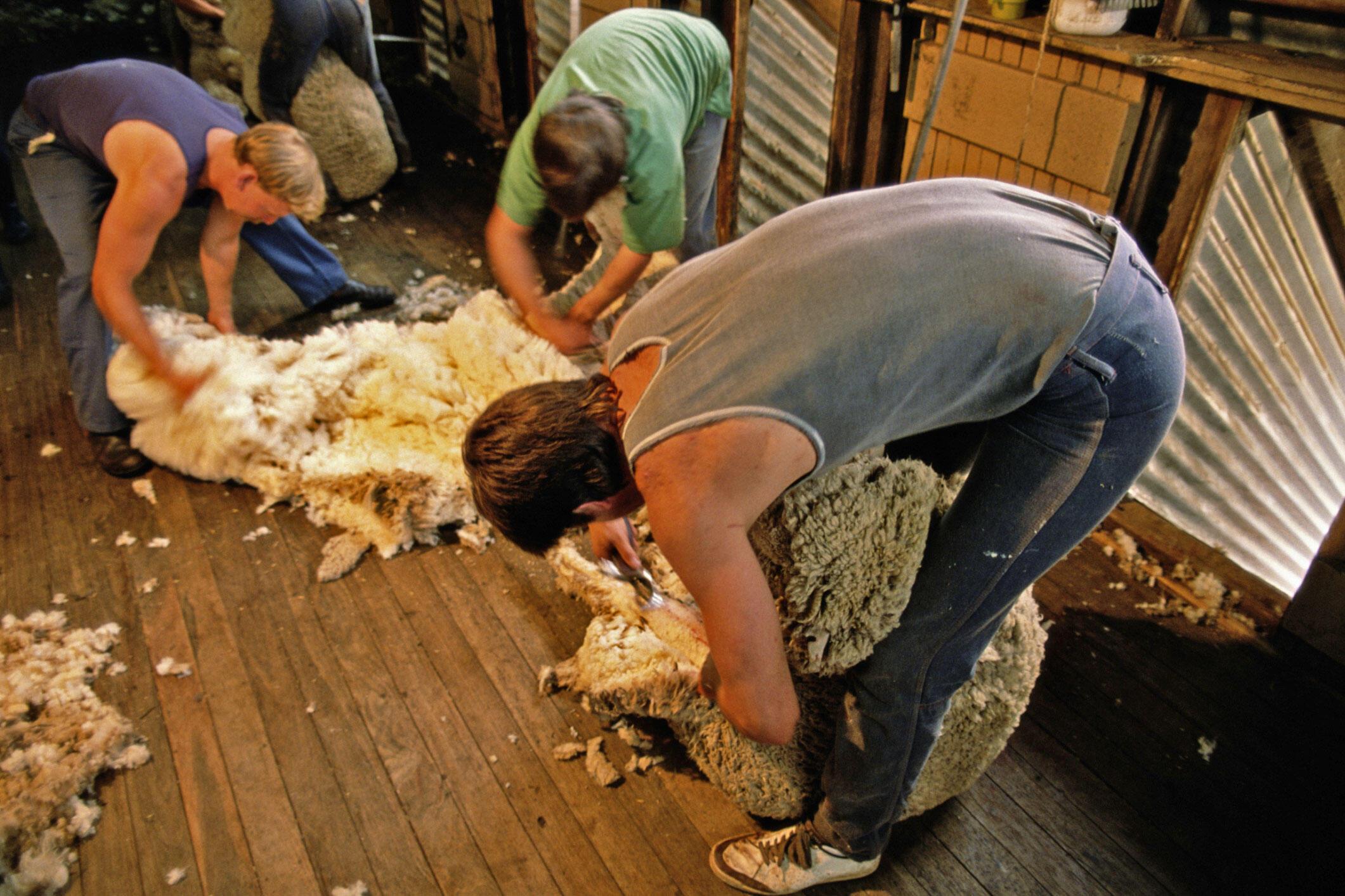 Tonte de moutons, en Nouvelle-Galles du Sud, un Etat australien, situé au sud-est du continent.