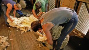 Tonte de moutons en Nouvelle-Galles du sud, un état australien situé au sud-est du continent.