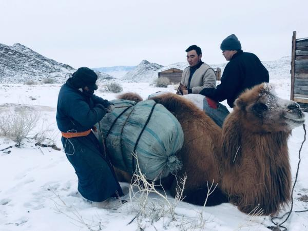 Nomadic herder (L) in Seer reserve, Mongolia, at KTT winter camp to collect hay for camels raised as sustainable activity that will not threaten the Takhi horses.