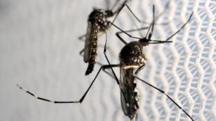 មូសខ្លាញី ភ្នាក់ងារបង្កជំងឺឈីក  (Aedes aegypti)