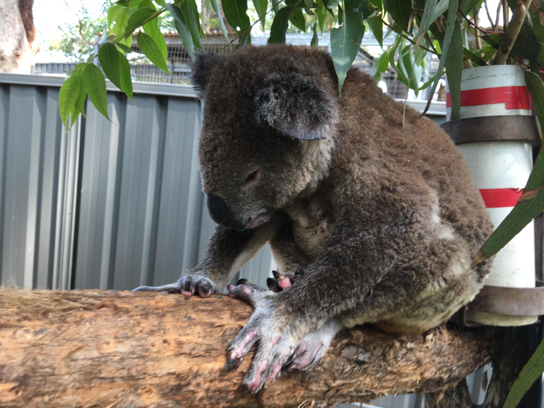 O coola Buzz é vítima dos incêndios na Austrália e está sendo tratado no Hospital de Coalas