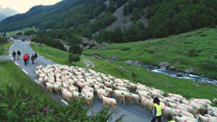 Un troupeau de brebis en Vallée d'Ossau en route pour le col du Pourtalet.