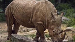 Le rhinocéros de Java a de larges plis de peau faisant penser à une armure. (Photo d'illustration)