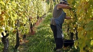 Alsace wine route town Riquewihr France vineyard harvest grapes