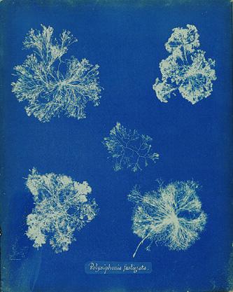 Анна Аткинс. Фотография из сборника «Британские водоросли», цианотипия Polysiphonia fastigata. Ок. 1845