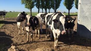 Vaches laitières.