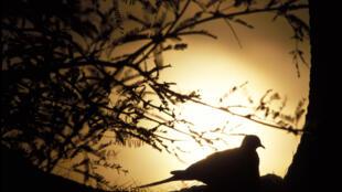 Le Coran et les hadiths se montrent particulièrement bienveillants envers les animaux, notamment la colombe.
