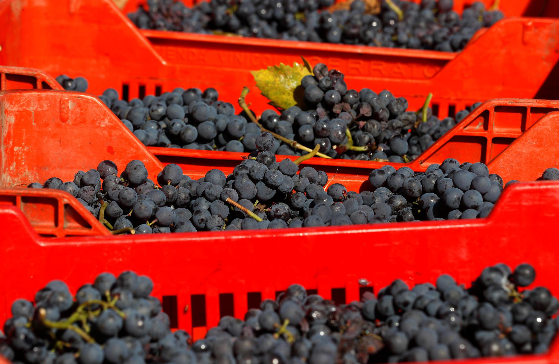 В Европе производство вина базируется на очень небольшом количестве хорошо известных сортов: каберне, пино, мерло, рислинг и других