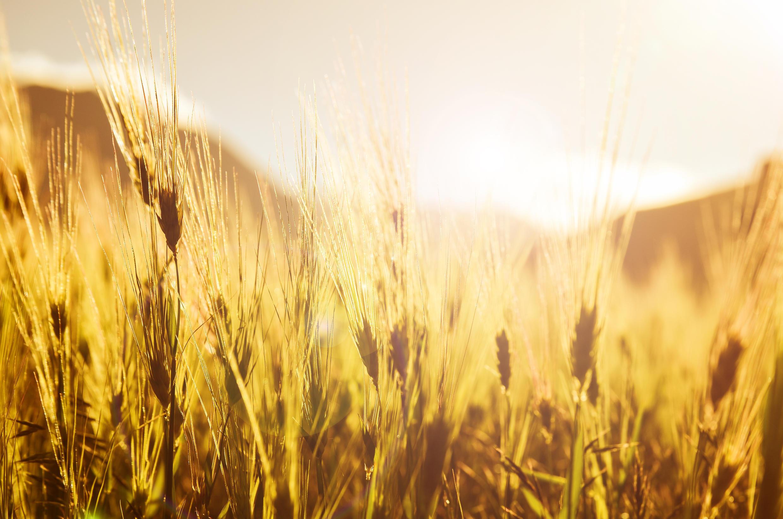 En trois mois, le prix du kilo de blé est passé de 4 à 24 roupies en Inde.