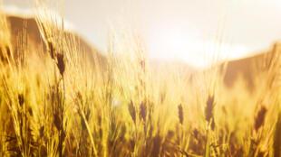 La production de blé dur pourrait, en plus d'apporter des gains importants, améliorer les régimes alimentaires autant en ville que dans les zones reculées.