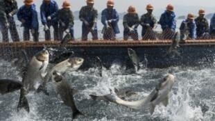 2018年3月29日,千島湖捕魚季開始,收網時,歡騰的鯉魚。
