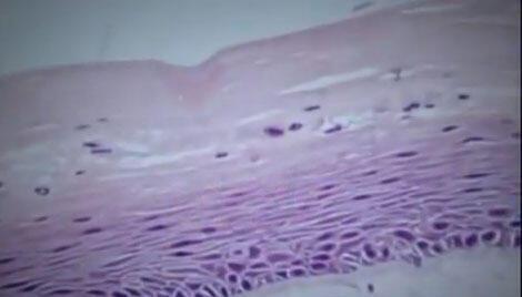 Estruturas celulares da pele artificial, aumentadas em microscopio,  foram desenvolvidas pela USP.