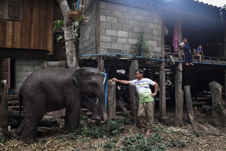 Un mahout regarde son jeune éléphant dans le village de Baan Na Klang, dans la province de Chiang Mai (dans le nord de la Thaïlande) où plus de 100 éléphants sont revenus de divers camps touristiques depuis l'épidémie du coronavirus.