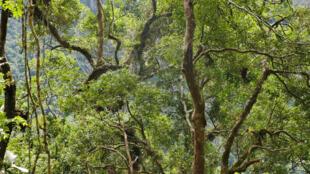 Canopée de la forêt primaire de moyenne altitude. Ici, les arbres atteignent maximum les 15 m de hauteur et 200 ans d'âge maximum.
