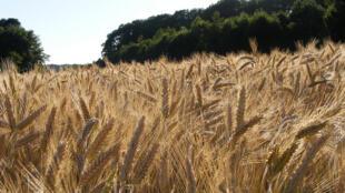 Un champ de blé dans les Ardennes.