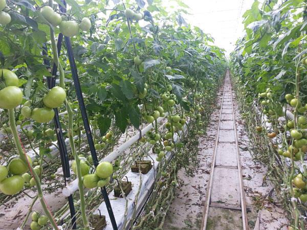 Travées de tomates (image d'illustration).