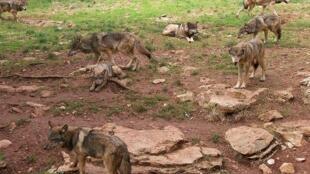 Lobos na região do Lot, no centro da França.