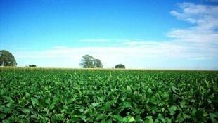 阿根廷土地遼闊肥沃盛產大豆,這是該國聖達菲省種植的豆類植物。