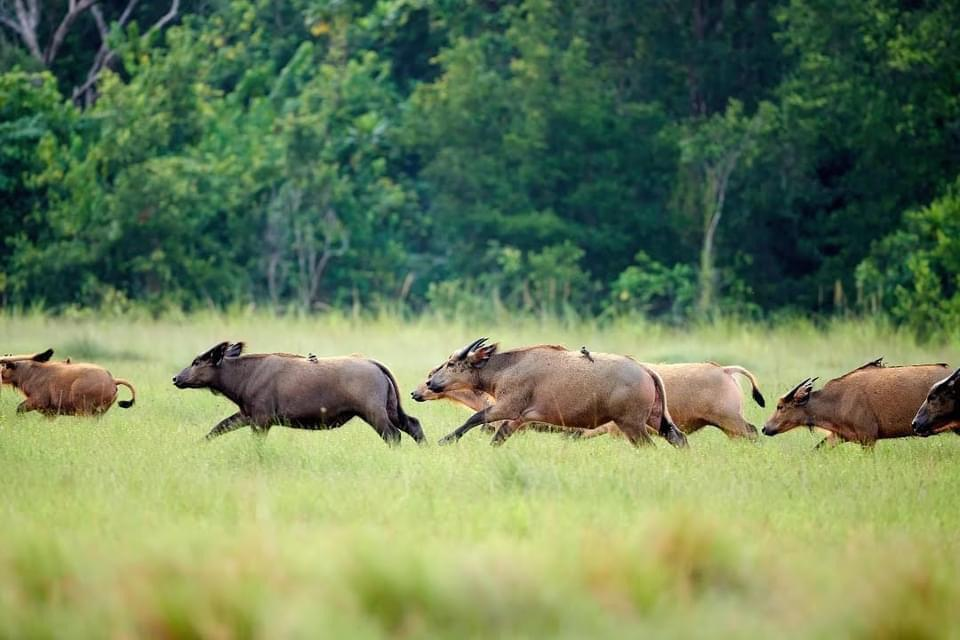 Gabon - Pongara - Réserve - Buffles - IMG-20210512-WA0057 (1)