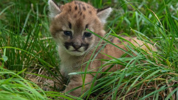 Le petit puma a ouvert les yeux dix jours après sa naissance