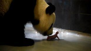 中国送澳门的熊猫妈妈正照顾婴儿。