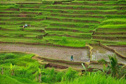 Rizières en terrasses autour du village de Jatiluwih à Penebel, en Indonésie.