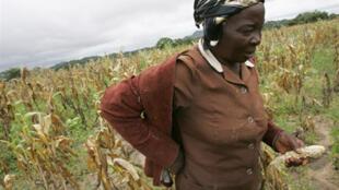 Une fermière dans un champ de maïs au Zimbabwe où la production connaît une baisse de 50%.