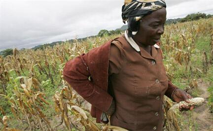 Une fermière dans un champ de maïs près de Bikita, au Zimbabwe.