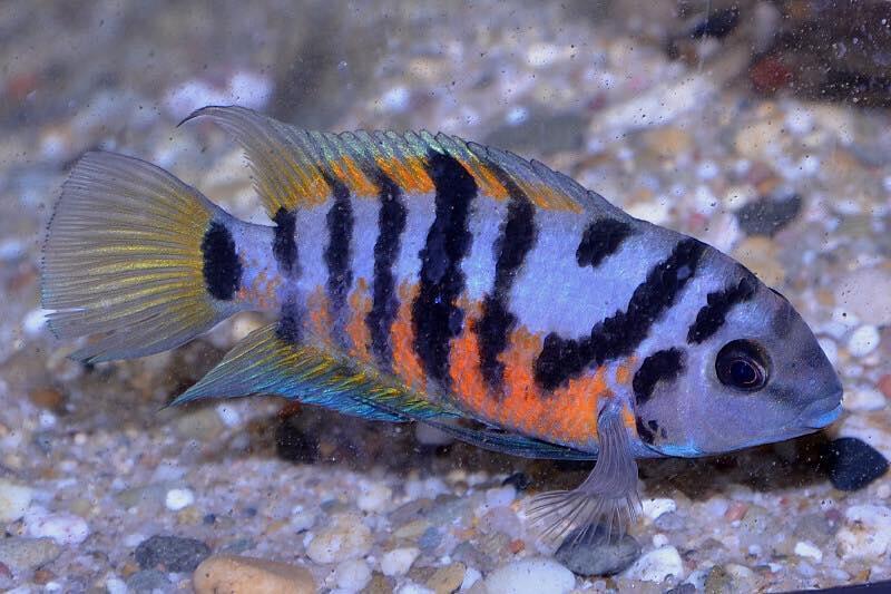 وجود احساس غم فراق یار و بدبینی حاصل از آن در گونه ای از ماهی به نام اَمَتیتلَنیا سِکویا