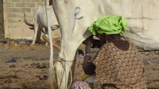 Les fermes laitières et les exploitants sénégalais sont peu compétitifs face au lait réengraissé.