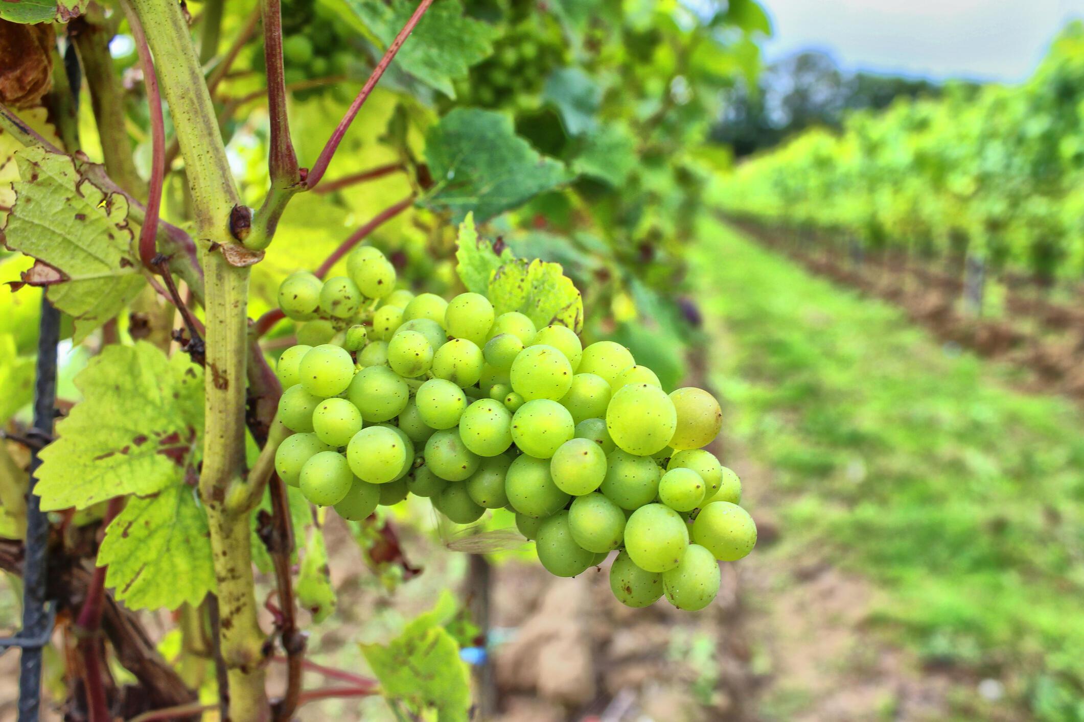 Виноград сорта Chardonnay