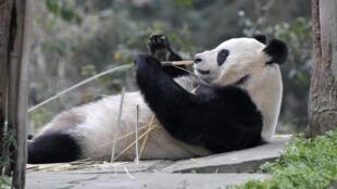 Le quotidien des pandas géants de Chengdu, à l'ouest de la Chine, est retransmis en direct 24h sur 24.