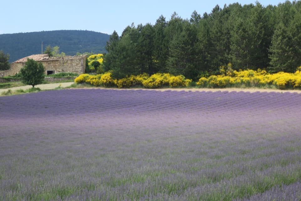 Cánh đồng hoa Oải hương ở vùng Provence, miền nam nước Pháp.