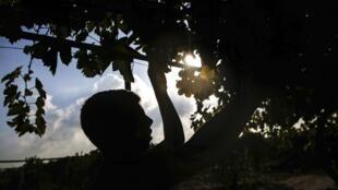 Un jeune palestinien récolte une grappe de raisin dans une ferme à Gaza, le 6 août 2019.
