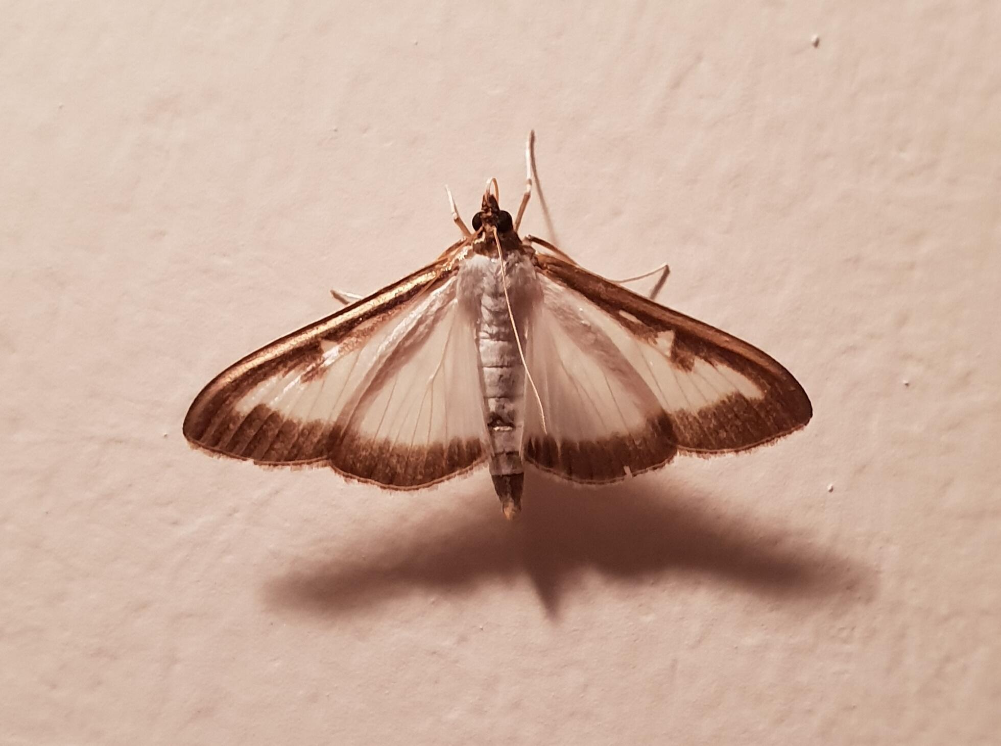 La Pyrale du buis ne vit qu'une quinzaine de jours au stade de papillon.