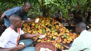 Côte d'Ivoire - Cacao - plantation cacao - agriculteurs - AFP 000_1LE8MZ - Eco d'ici éco d'ailleurs