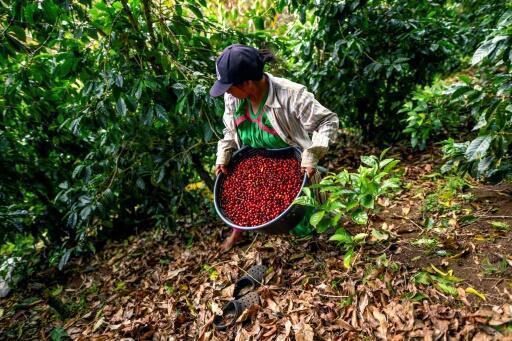 Una mujer de la comunidad Ngäbe Buglé lleva una canasta con granos de café durante la cosecha del café geisha orgánico en la finca Elida, en Boquete, Panamá, el 23 de enero de 2020