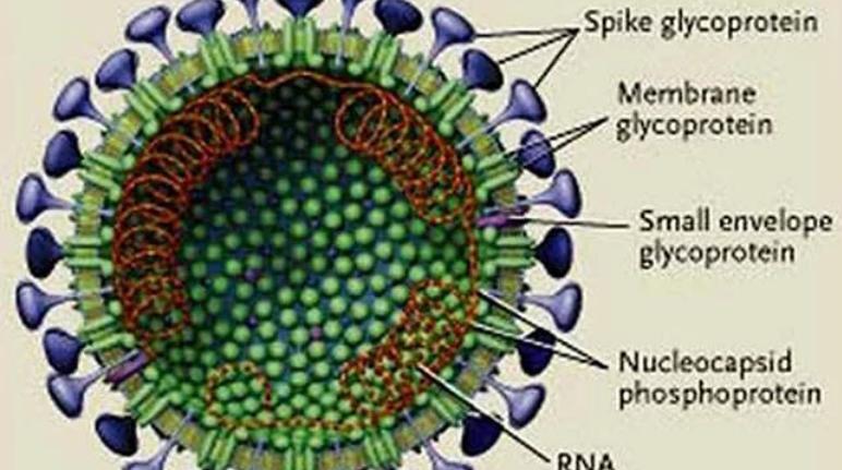 新冠肺炎病毒病理圖