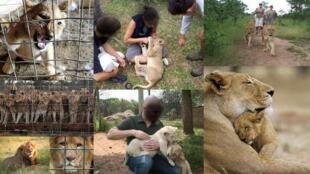 Campanha da organização Canned Lion alerta para o equívoco de brincar com bebês leões, criados em cativeiro.
