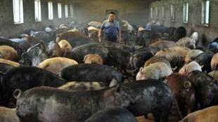 Un éleveur de porcs en Chine.