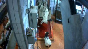 Em abatedouro no sul da França, associação faz vídeo mostrando crueldade com carneiros e bezerros.
