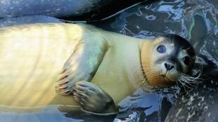 En baie de Somme, les phoques sont accusés par les pêcheurs de provoquer la raréfaction des poissons.