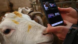 La granjera Dot McCarthy filma una de sus cabras para una llamada de Zoom en Cronkshaw Fold Farm, Rossendale, al noroeste de Inglaterra, el 9 de febrero de 2021