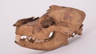 Crâne et mandibule de chien provenant du site néolithique de Bercy (Paris, ca. 4000 av. J.-C.) où plusieurs spécimens ont été séquencés pour l'étude.